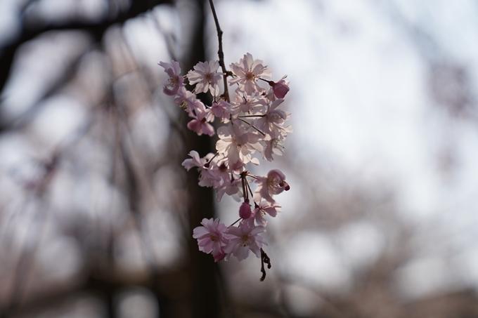 京都_桜_2020_47 永運院 No38