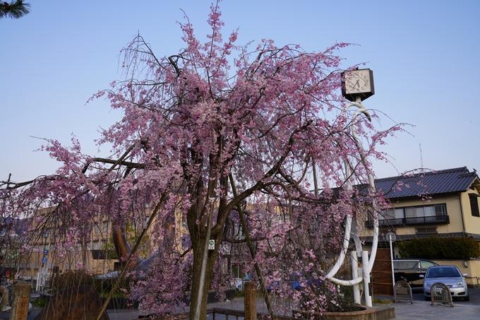 京都_桜_2020_48 半木の道 No2