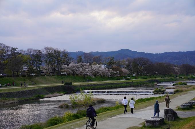 京都_桜_2020_48 半木の道 No6