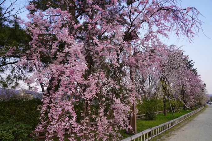 京都_桜_2020_48 半木の道 No7