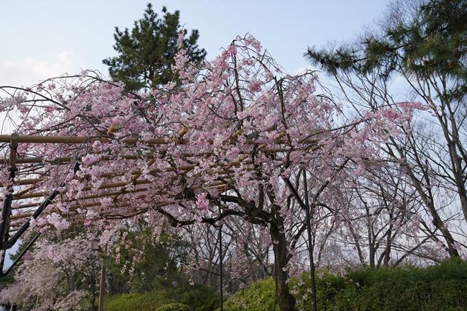 京都_桜_2020_48 半木の道 No8
