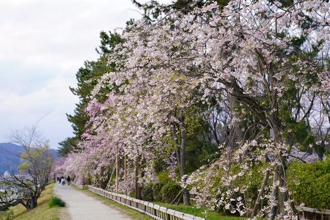 京都_桜_2020_48 半木の道 No10