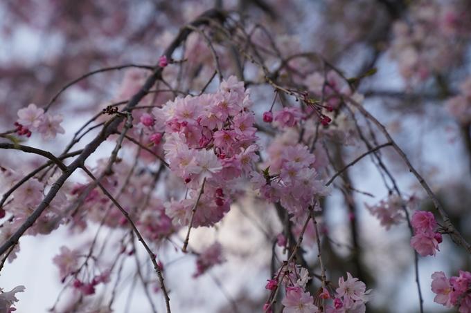 京都_桜_2020_48 半木の道 No15