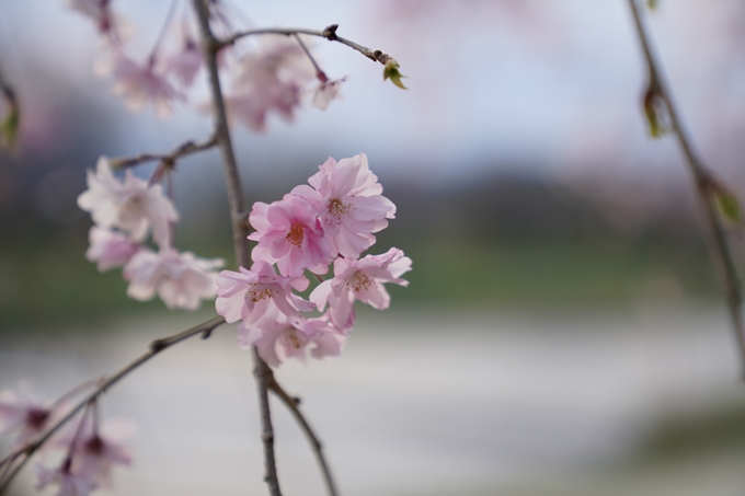 京都_桜_2020_48 半木の道 No17