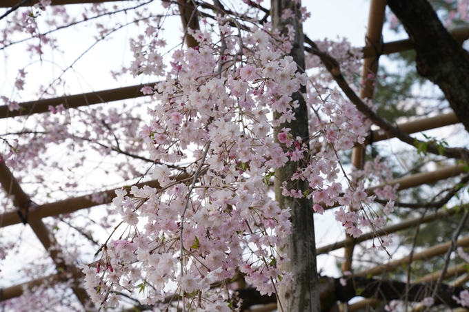 京都_桜_2020_48 半木の道 No21