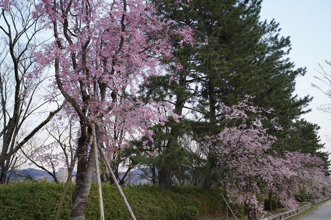 京都_桜_2020_48 半木の道 No26