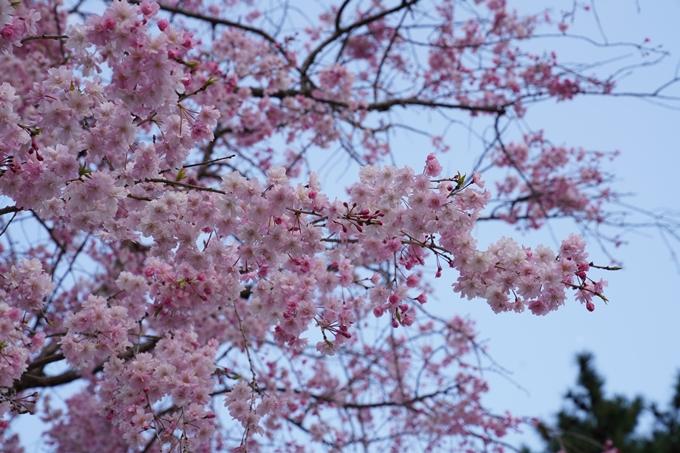 京都_桜_2020_48 半木の道 No27