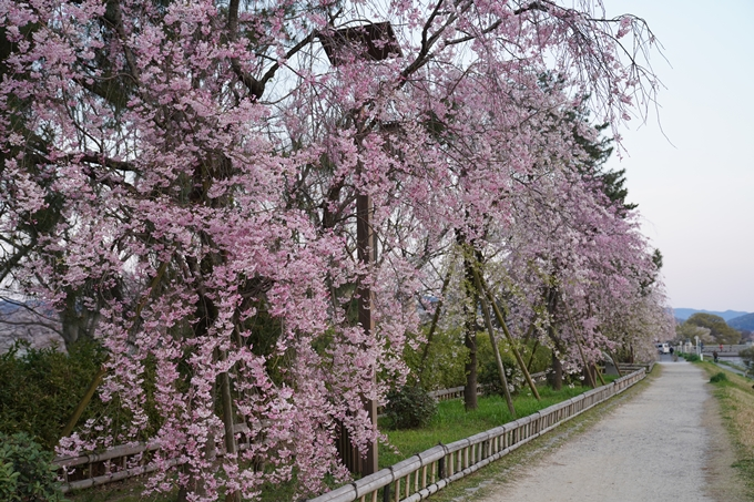 京都_桜_2020_48 半木の道 No29