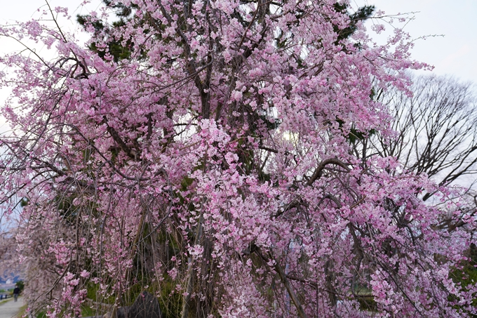 京都_桜_2020_48 半木の道 No31