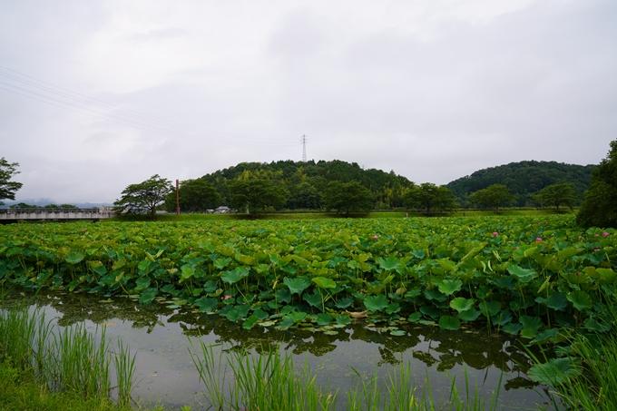 平の沢池_ハス No6