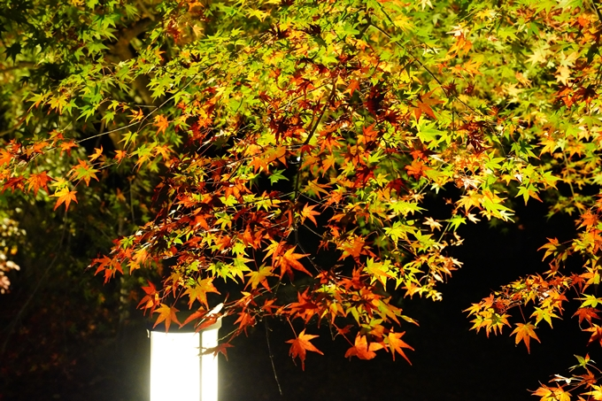 京都_紅葉_2020_植物園 No7