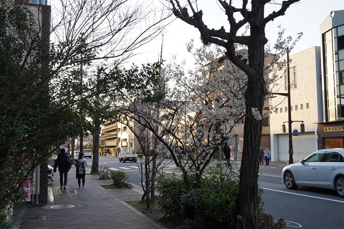 桜_2021_01 丸太町通 No2