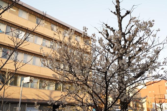 桜_2021_01 丸太町通 No6