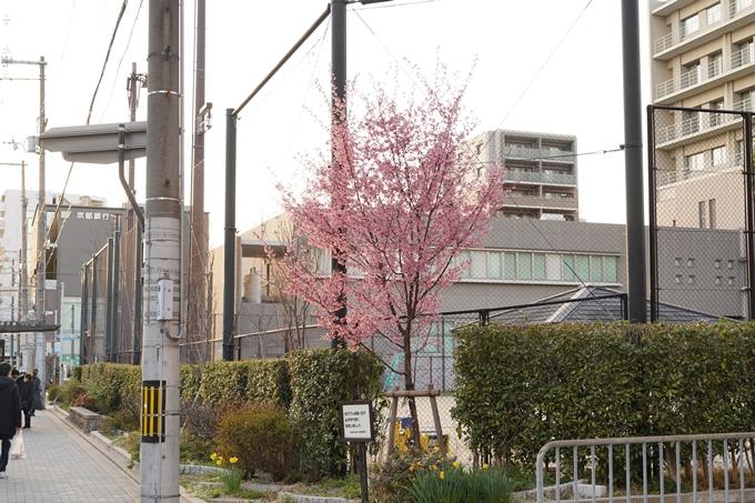 桜_2021_01 丸太町通 No7