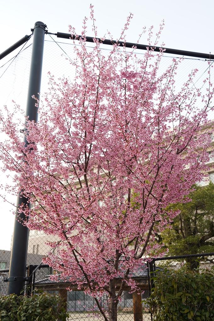 桜_2021_01 丸太町通 No11