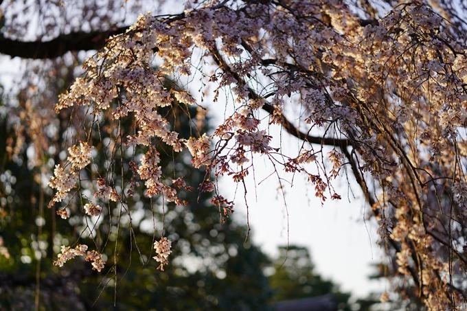 桜_2021_05 近衛邸跡の糸桜02No3