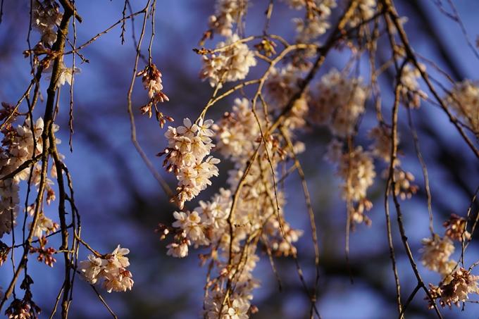 桜_2021_05 近衛邸跡の糸桜02No4