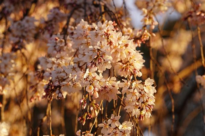 桜_2021_05 近衛邸跡の糸桜02No6