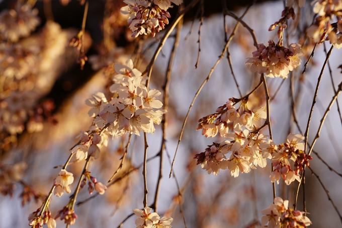 桜_2021_05 近衛邸跡の糸桜02No8