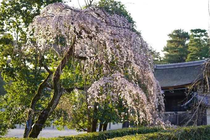 桜_2021_05 近衛邸跡の糸桜02No9