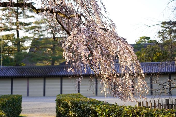 桜_2021_05 近衛邸跡の糸桜02No10