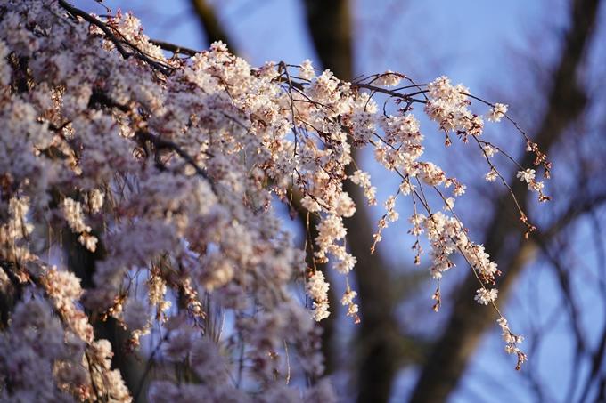 桜_2021_05 近衛邸跡の糸桜02No12