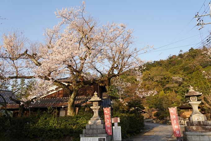 桜_2021_15 大豊神社 No3