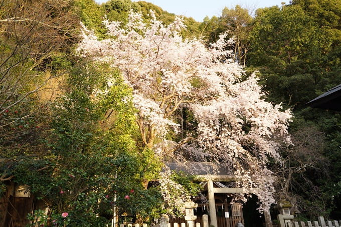 桜_2021_15 大豊神社 No6