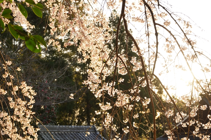 桜_2021_15 大豊神社 No12