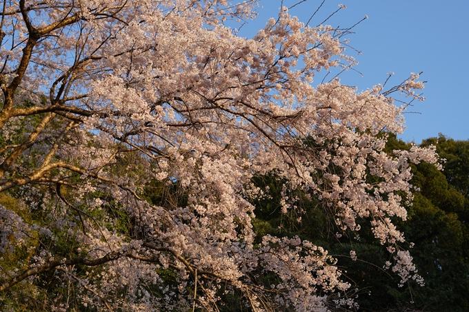 桜_2021_15 大豊神社 No14