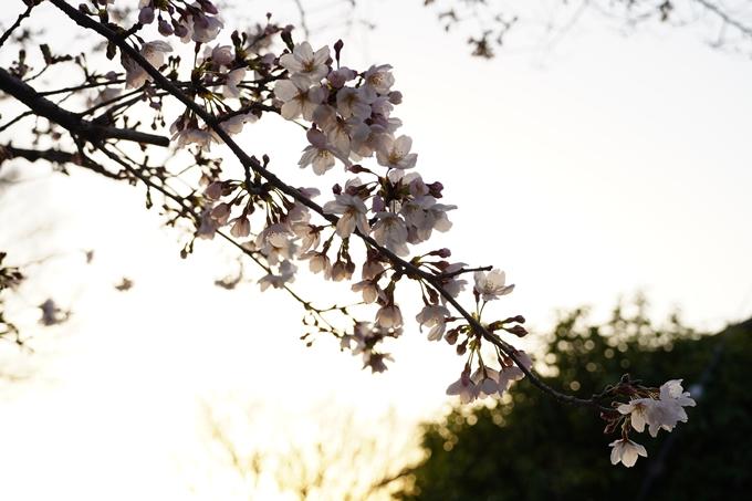 桜_2021_15 大豊神社 No18