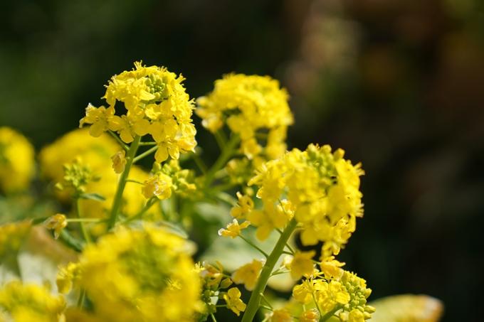 菜の花 No12