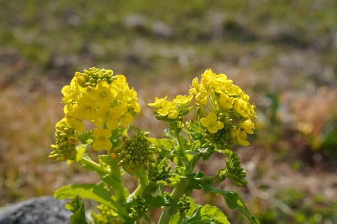 菜の花 No17