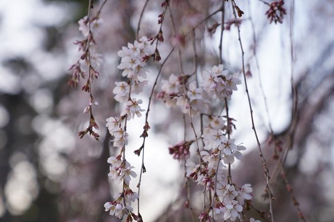 桜_2021_04 近衛邸跡の糸桜 No3