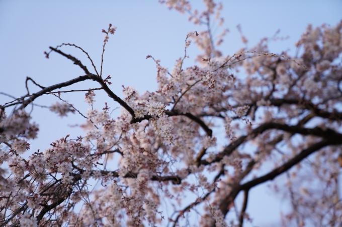 桜_2021_04 近衛邸跡の糸桜 No4