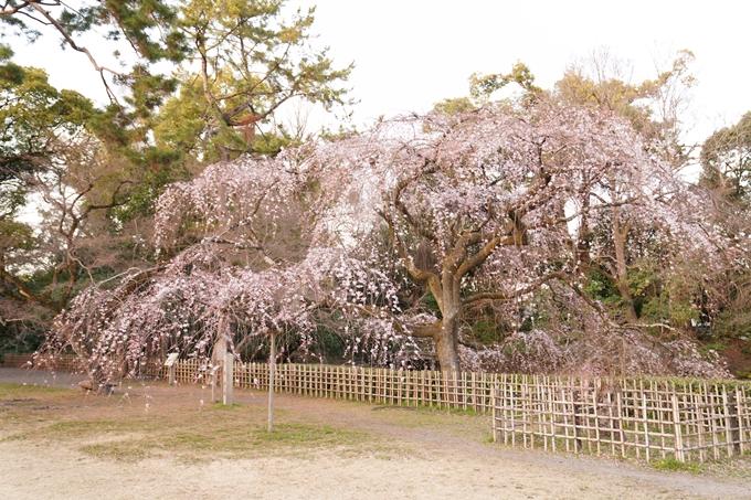 桜_2021_04 近衛邸跡の糸桜 No2
