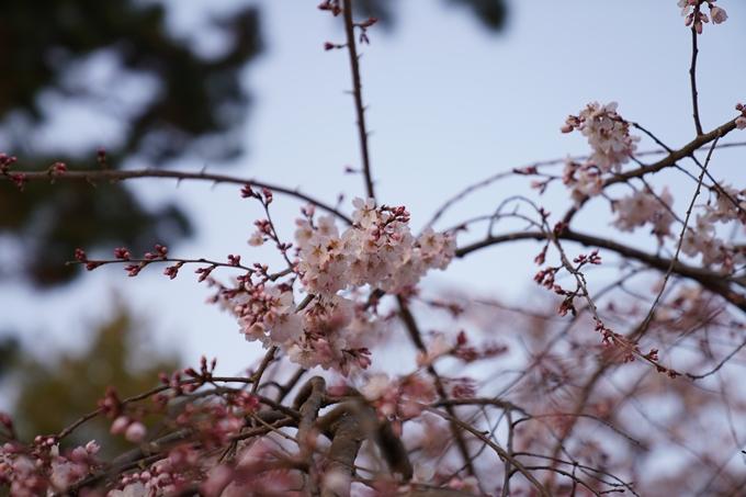 桜_2021_04 近衛邸跡の糸桜 No5
