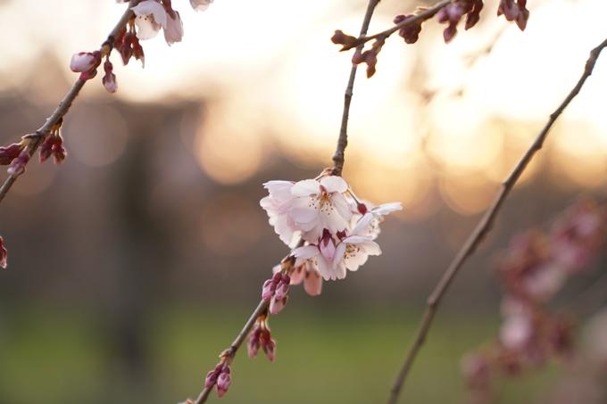 桜_2021_04 近衛邸跡の糸桜 No6