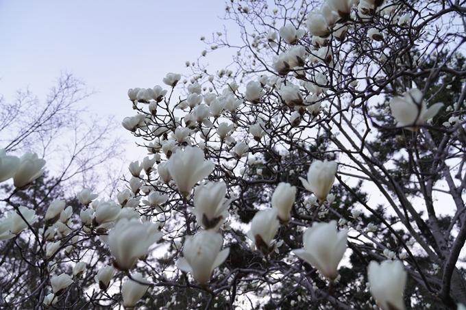 桜_2021_04 近衛邸跡の糸桜 No10