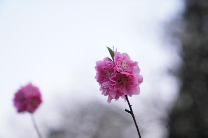 桜_2021_04 近衛邸跡の糸桜 No11