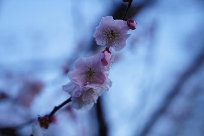 桜_2021_04 近衛邸跡の糸桜 No12