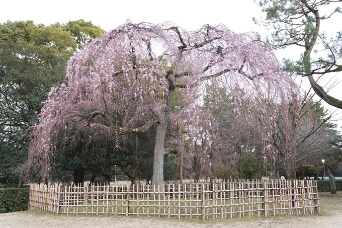 桜_2021_04 近衛邸跡の糸桜 No13