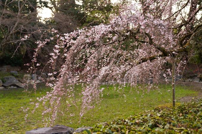 桜_2021_05 近衛邸跡の糸桜02No14