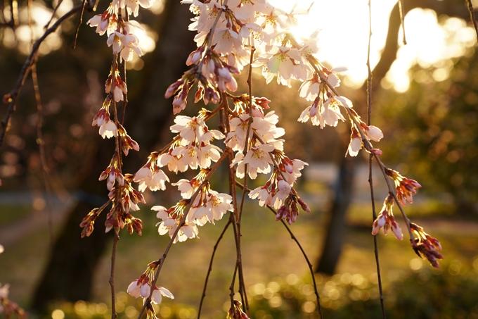 桜_2021_05 近衛邸跡の糸桜02No16
