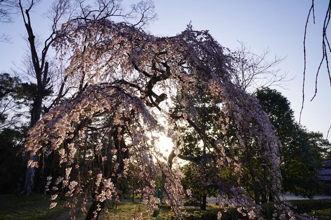 桜_2021_05 近衛邸跡の糸桜02No18