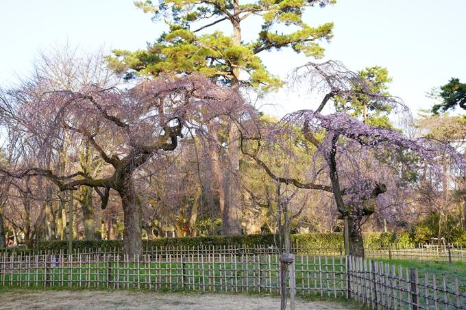 桜_2021_05 近衛邸跡の糸桜02No19