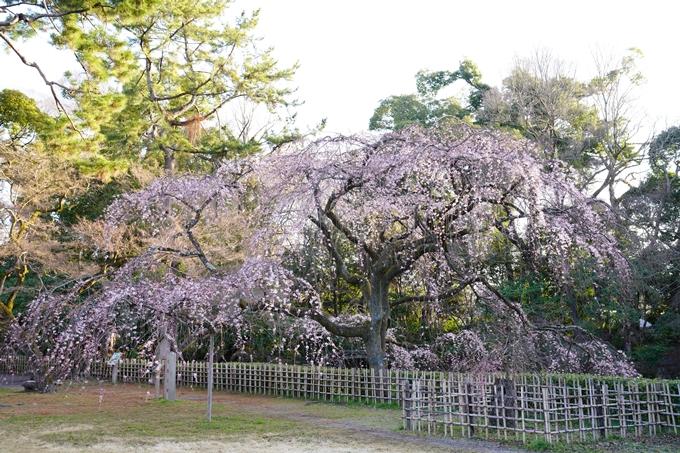 桜_2021_05 近衛邸跡の糸桜02No20