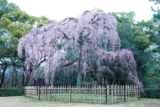 桜_2021_06 出水の桜 No3