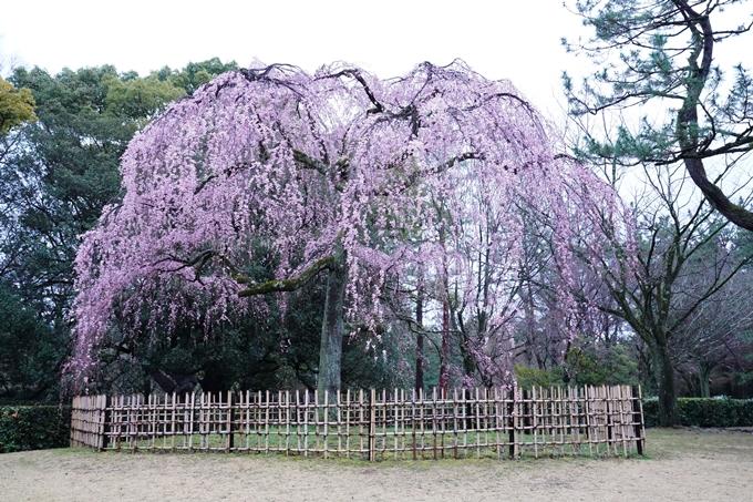 桜_2021_06 出水の桜 No4