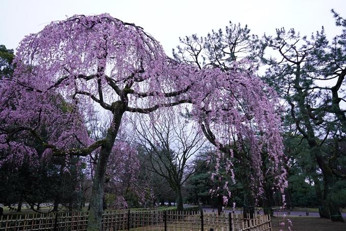 桜_2021_06 出水の桜 No5